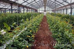 群馬県のバラ生産様の温室(ハウス)