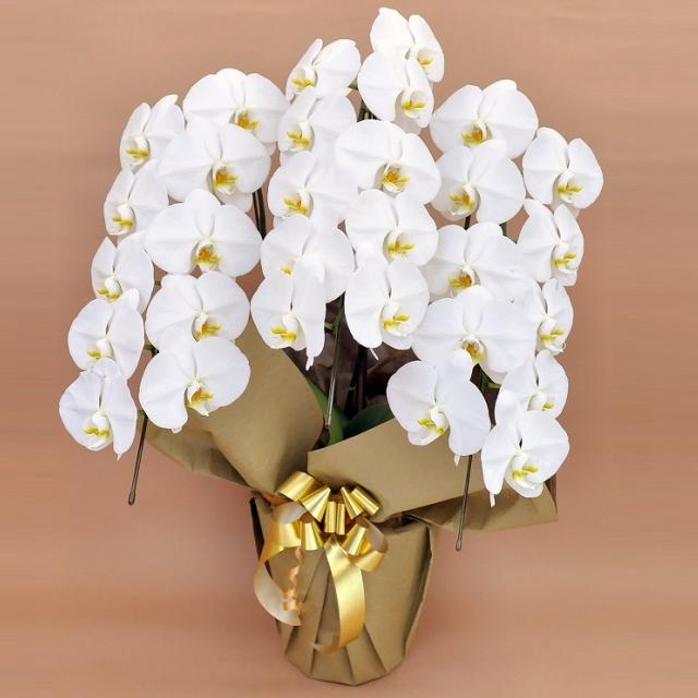 胡蝶蘭 3本立ち 白