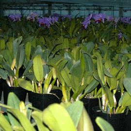 カトレア 栽培風景 レポート