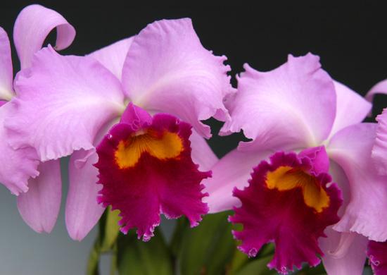 カトレア 華麗な花。カトレアが日本全国へ。