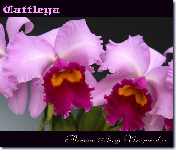 カトレアの花弁。その優美さは「洋ランの女王」と呼ばれています。
