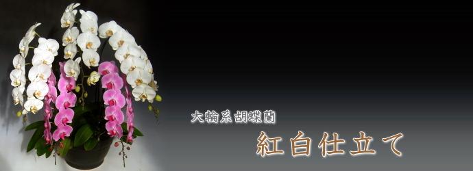 大輪形胡蝶蘭 紅白仕立て