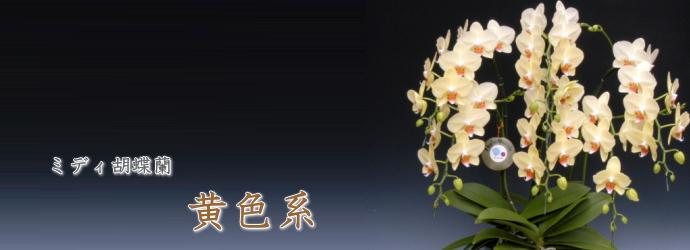 ミディ胡蝶蘭黄色系