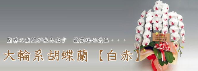 大輪系胡蝶蘭 白赤