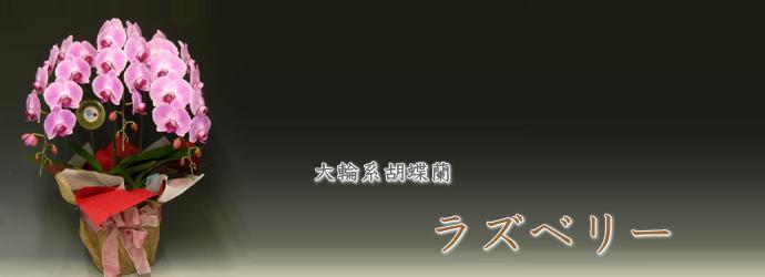 大輪形胡蝶蘭 ラズベリー
