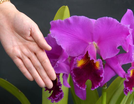 カトレア大輪形の花弁は、こんなに大きい!