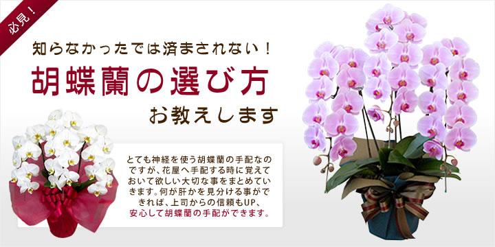 胡蝶蘭の選び方をお教えします。