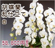胡蝶蘭和仕立て 白