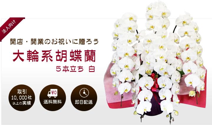 開店・開業のお祝いに贈ろう 大輪系胡蝶蘭 5本立ち 白