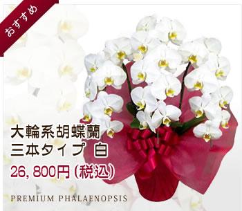 胡蝶蘭 三本タイプ 白