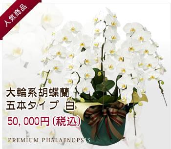 胡蝶蘭 五本タイプ 白