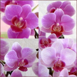 ミディ胡蝶蘭 花弁