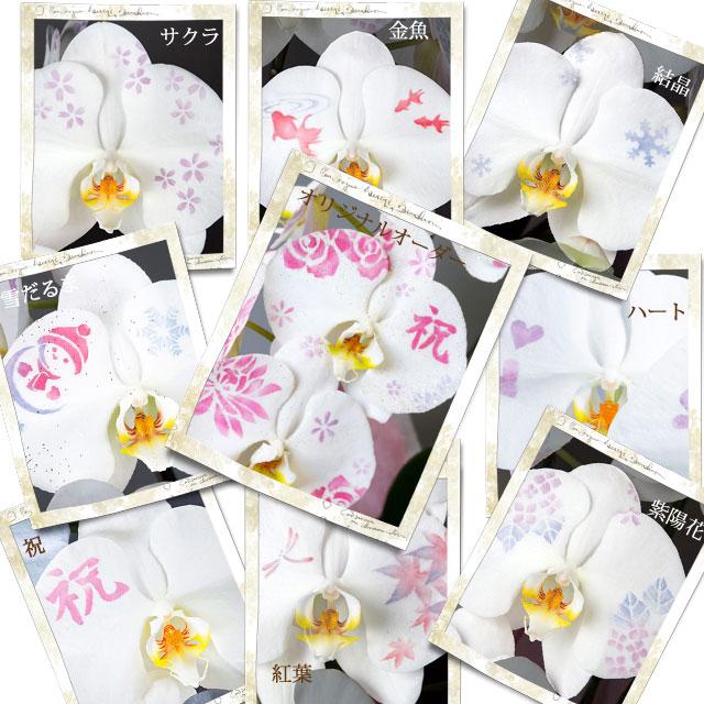 化粧蘭の種類