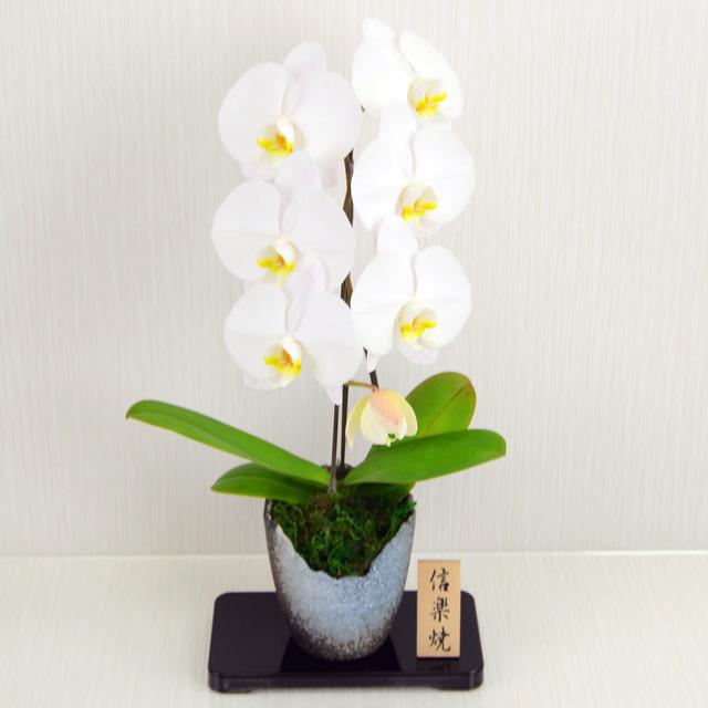 大輪 胡蝶蘭 1本立ち 信楽鉢