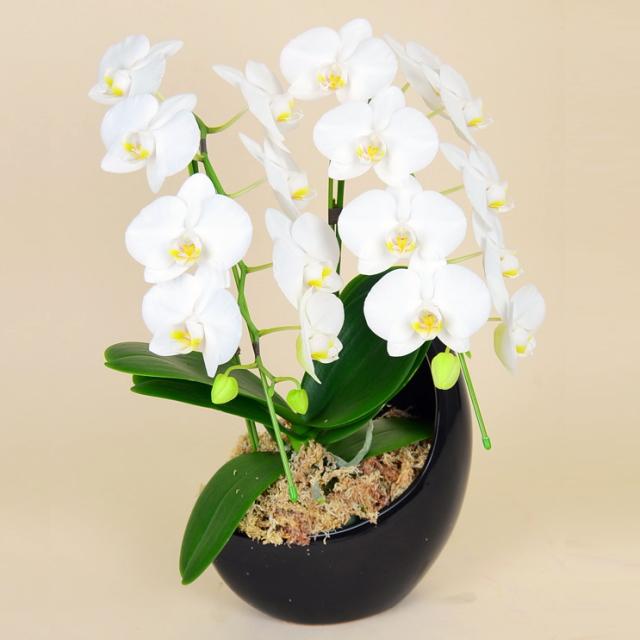 ミディ胡蝶蘭 2本立ち 白 三日月鉢 ホワイトミディ胡蝶蘭 ペーパームーン