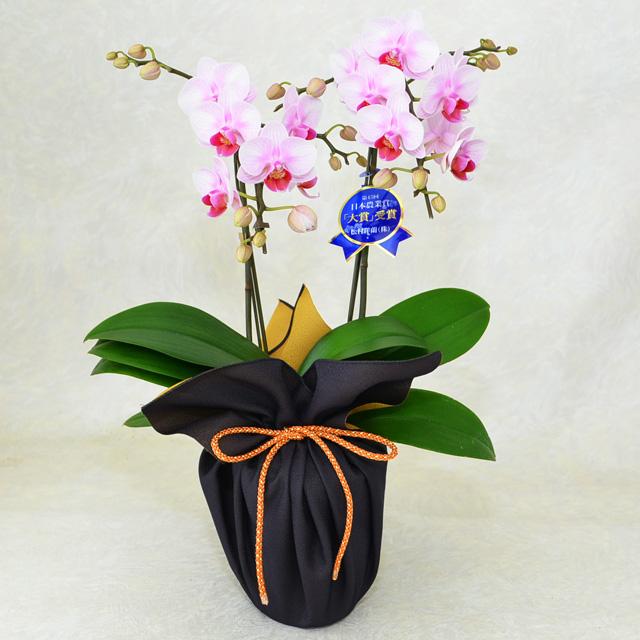 ミディ胡蝶蘭 2本立ち ランラン 4号鉢 風呂敷ラッピング 紫/金茶