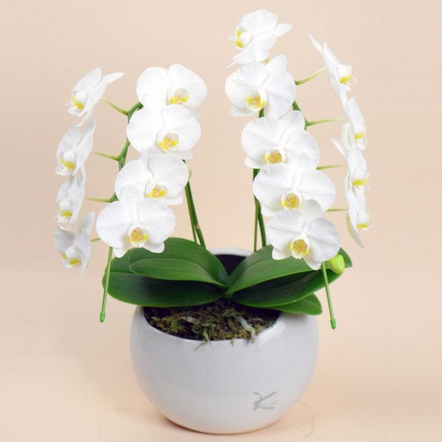 ミディ胡蝶蘭 2本立ち 白 丸鉢 ホワイトミディ胡蝶蘭 ムーン