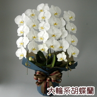 大輪系胡蝶蘭